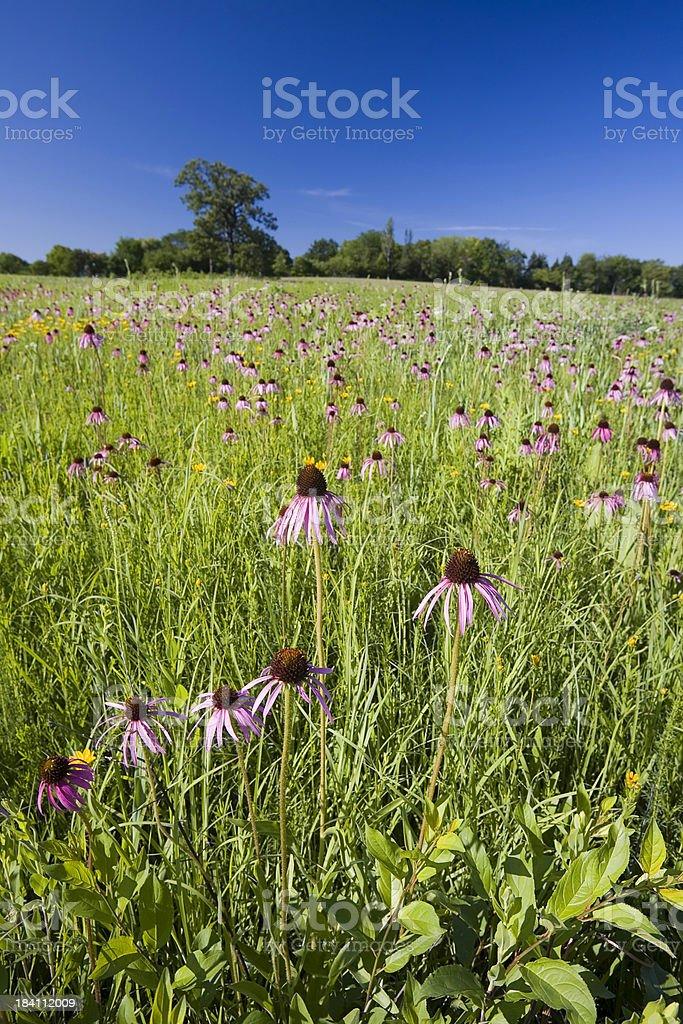 Prairie Coneflowers in Illinois royalty-free stock photo