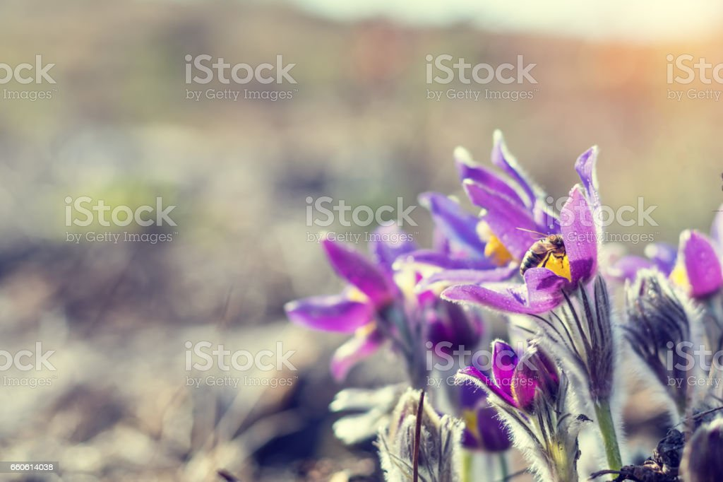 Prairie crocus, cutleaf anemone stock photo