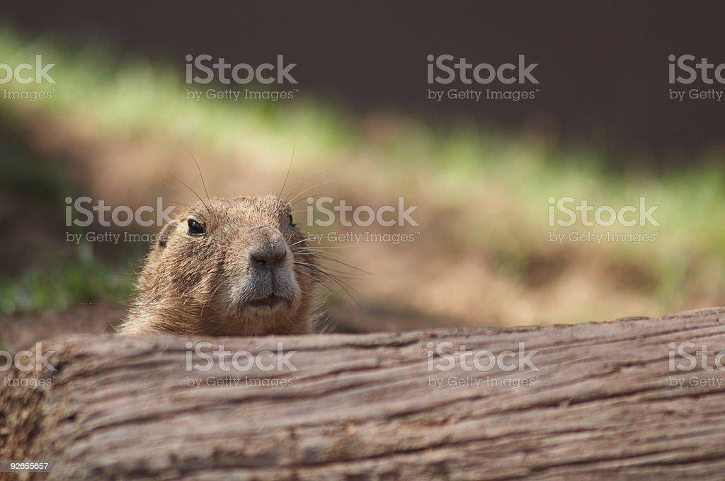 Prairie Dog 2 royalty-free stock photo