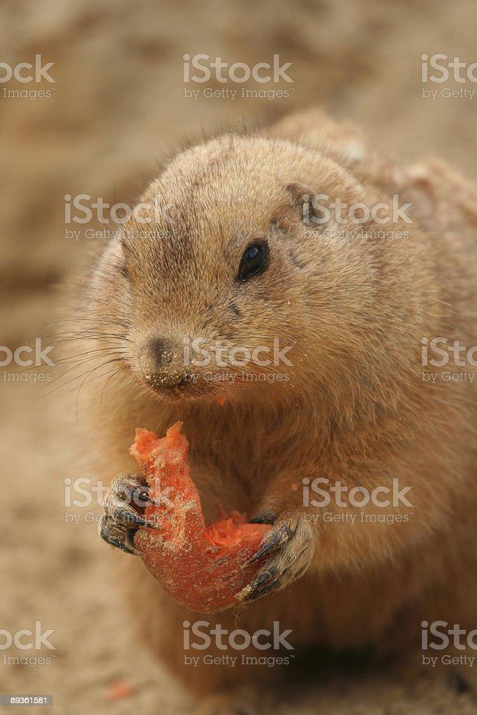 Cane della prateria mangiare una carota davanti a qualcuno foto stock royalty-free