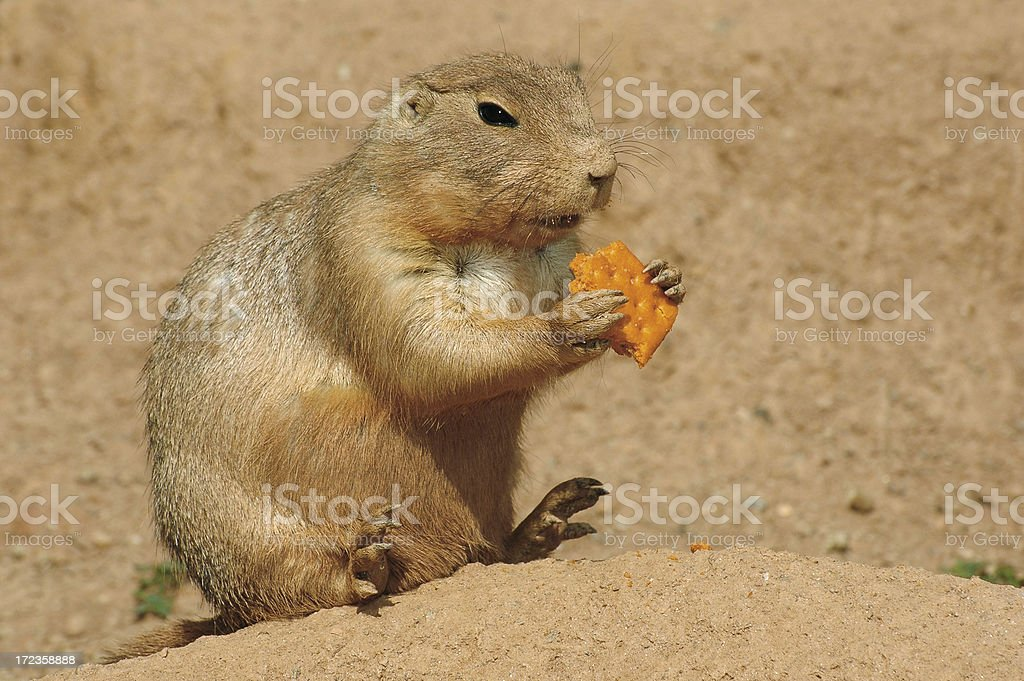 Prairie Dog Eating A Cracker royalty-free stock photo