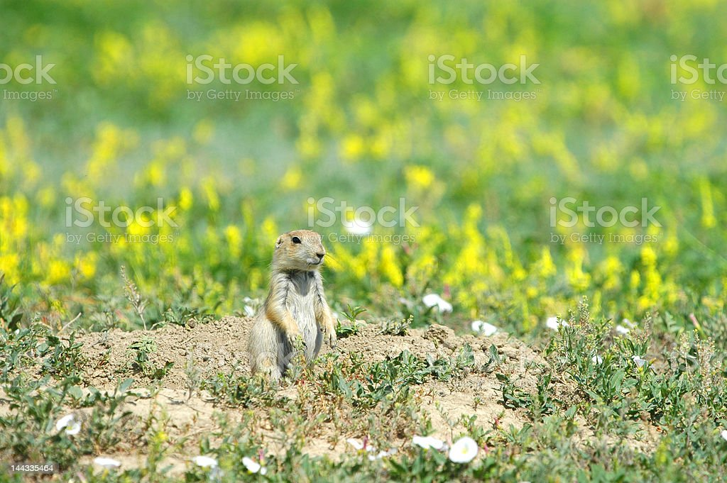 Prairie Dog Flowers royalty-free stock photo