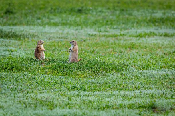Prairie Dog in Theodore Roosevelt NP stock photo