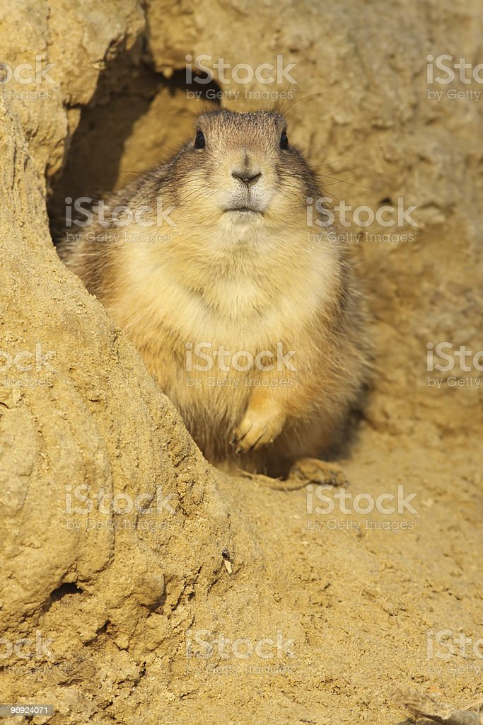 Prairie dog (Cynomys ludovicianus) looking at you royalty-free stock photo