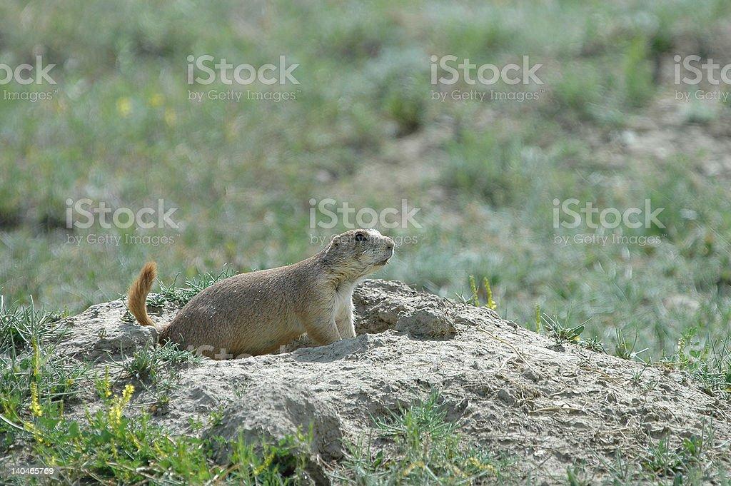 Prairie Dog Mound royalty-free stock photo