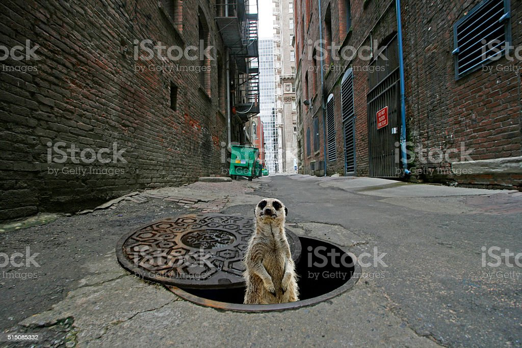 prairie dog peering from man hole in city alley stock photo