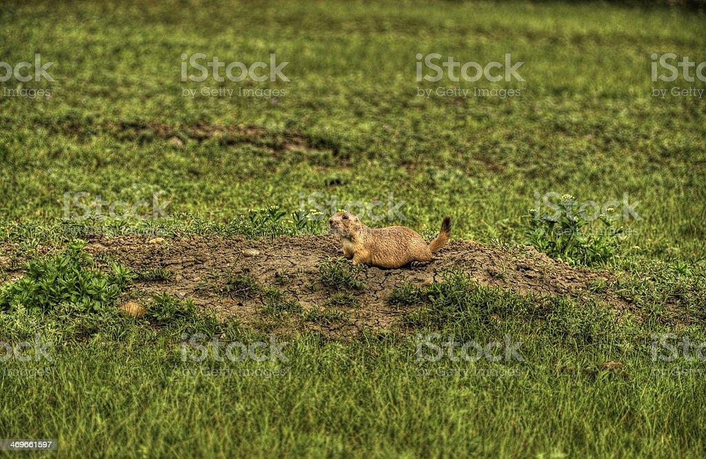 Prairie dog royalty-free stock photo