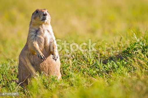 Alert prairie dog standing on its hind legs at Bad Lands NP
