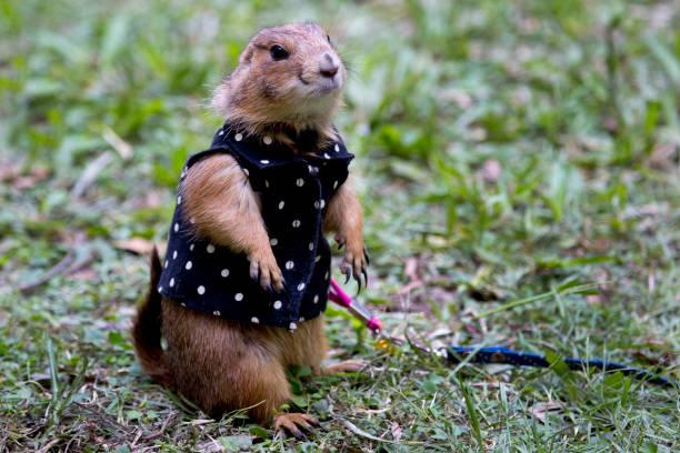 perro de las praderas - groundhog day fotografías e imágenes de stock
