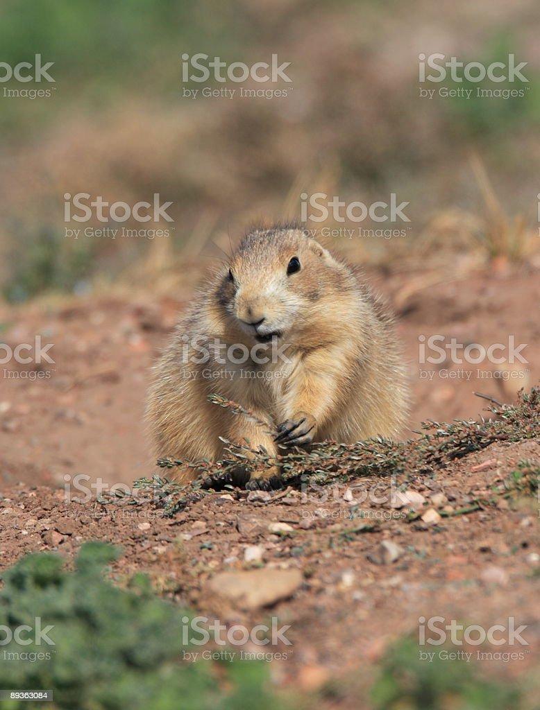 Prairie Dog royaltyfri bildbanksbilder