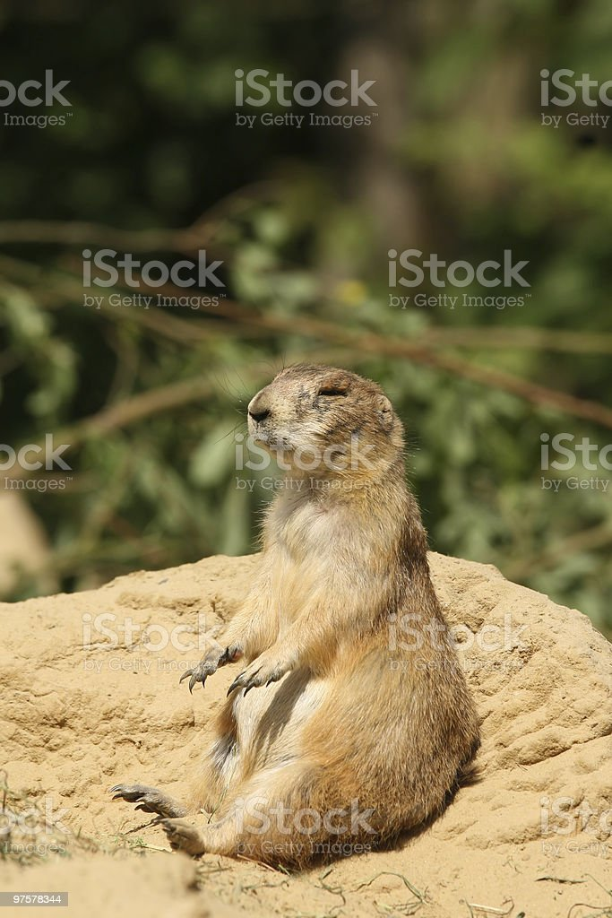 Prairie dog (Cynomys ludovicianus) sitting in the sand royalty-free stock photo