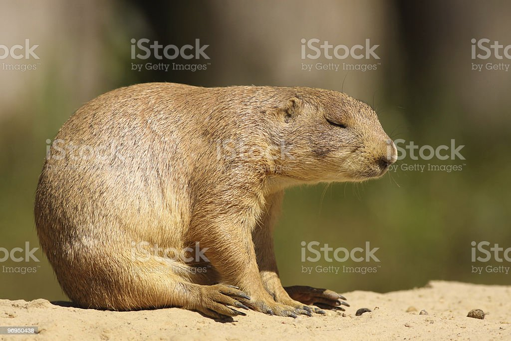 Prairie dog (Cynomys ludovicianus) sleeping royalty-free stock photo
