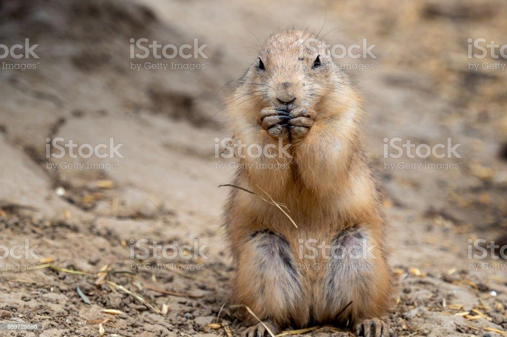 A prairie dog (Cynomys ludovicianus) standing near his burrow stock photo
