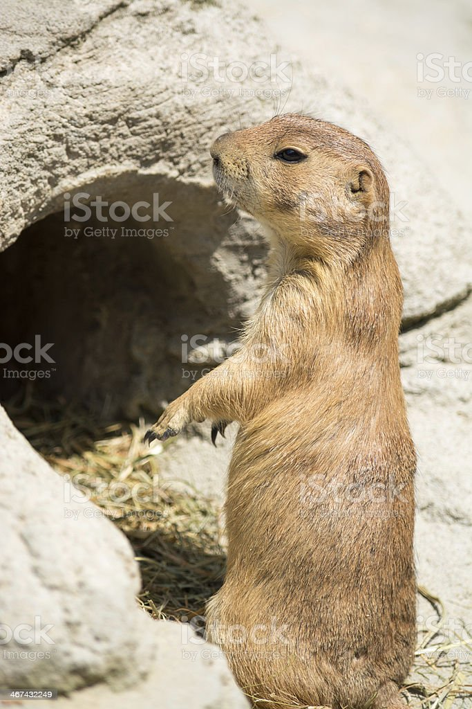 Prairie dog (genus Cynomys) standing up on his legs royalty-free stock photo