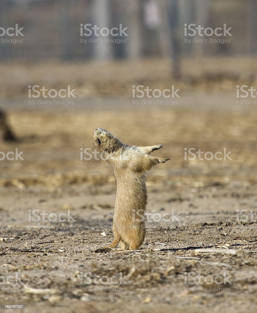 Prairie Dog Stretch royalty-free stock photo