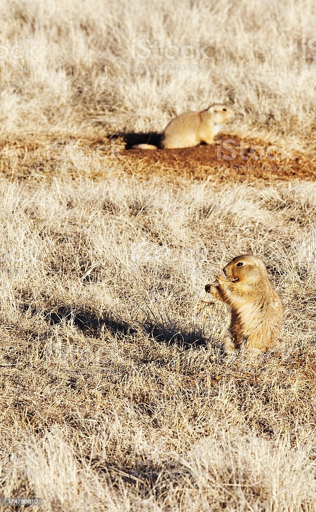 Prairie Dog Town - Wyoming, USA royalty-free stock photo