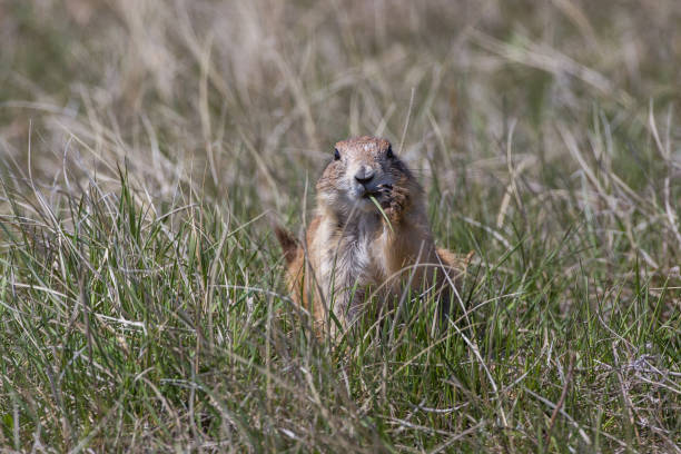 Prairie dog, Wind Cave National Park stock photo