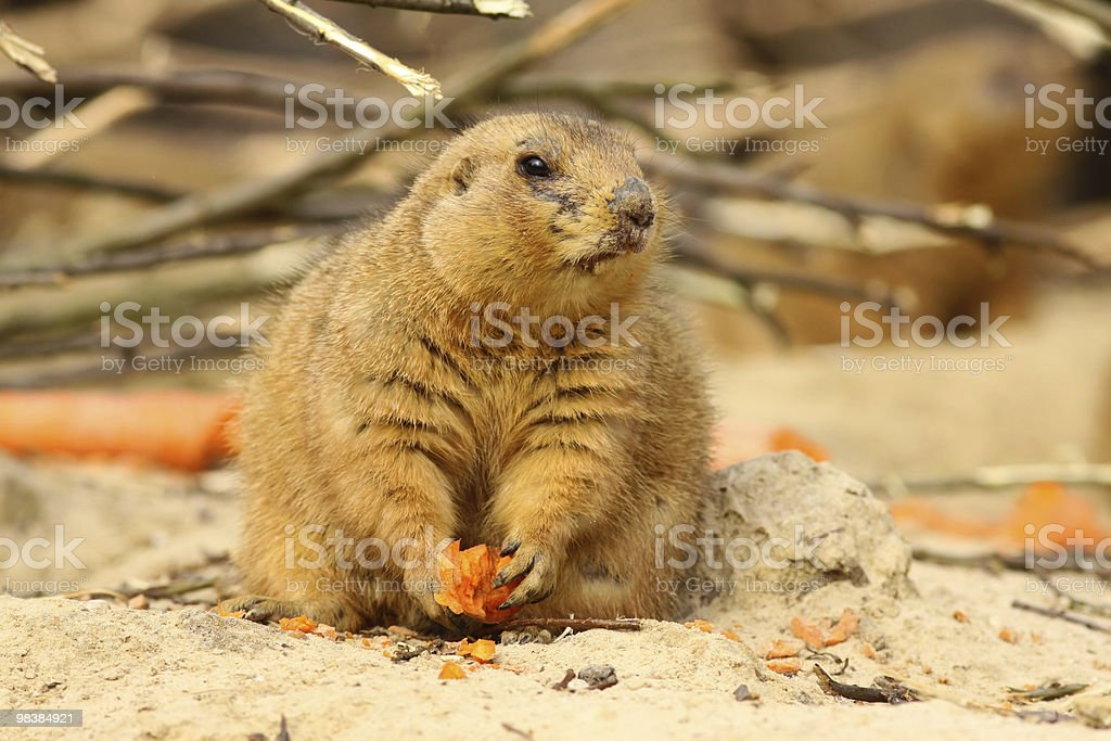 Prairie dog with carrot looking to the right royalty-free stock photo