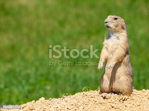 Prairie dogs in and around their burrows
