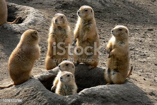 Prairie dog family live together in burrows in the ground