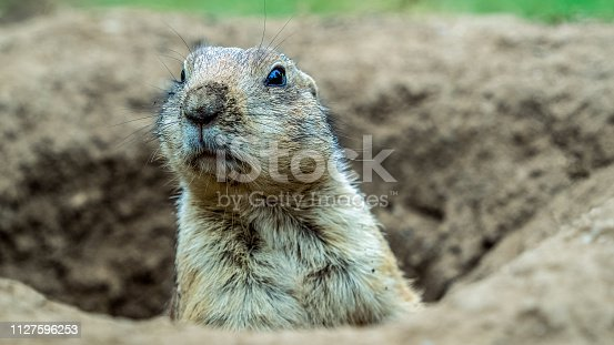 Prairie dogs (genus Cynomys) are herbivorous burrowing rodents native to the grasslands of North America. The five species are: black-tailed, white-tailed, Gunnison's, Utah, and Mexican prairie dogs.