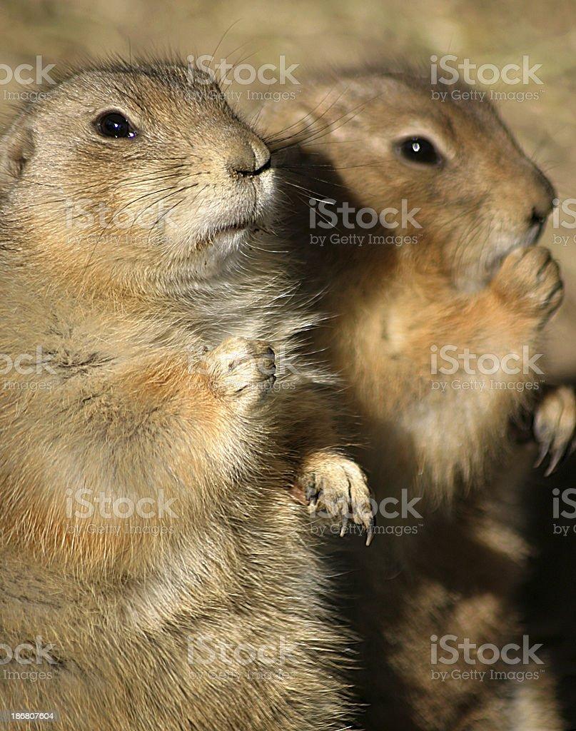 Prairie Dogs royalty-free stock photo