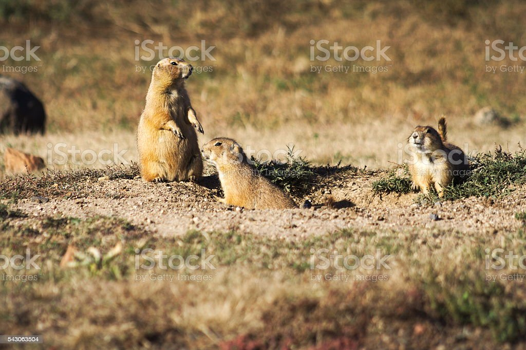 Prairie Dogs stock photo