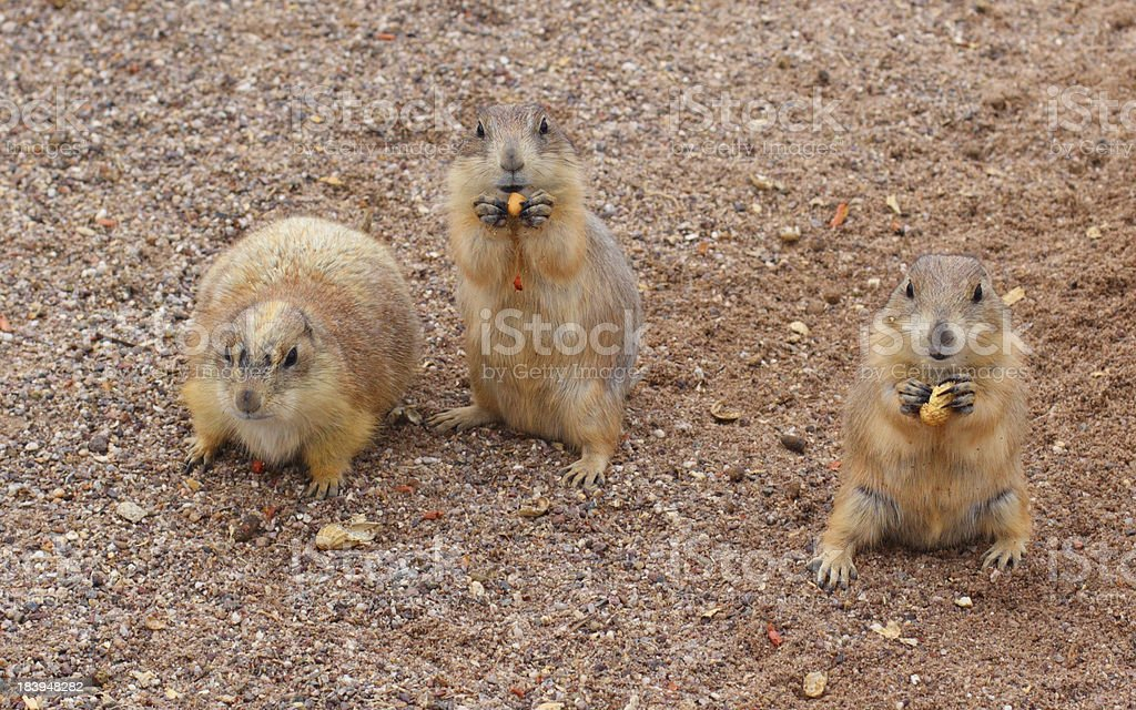 Prairie Dogs Snack Time royalty-free stock photo