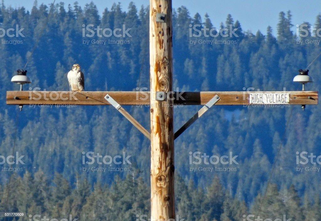Prairie Falcon Watch stock photo