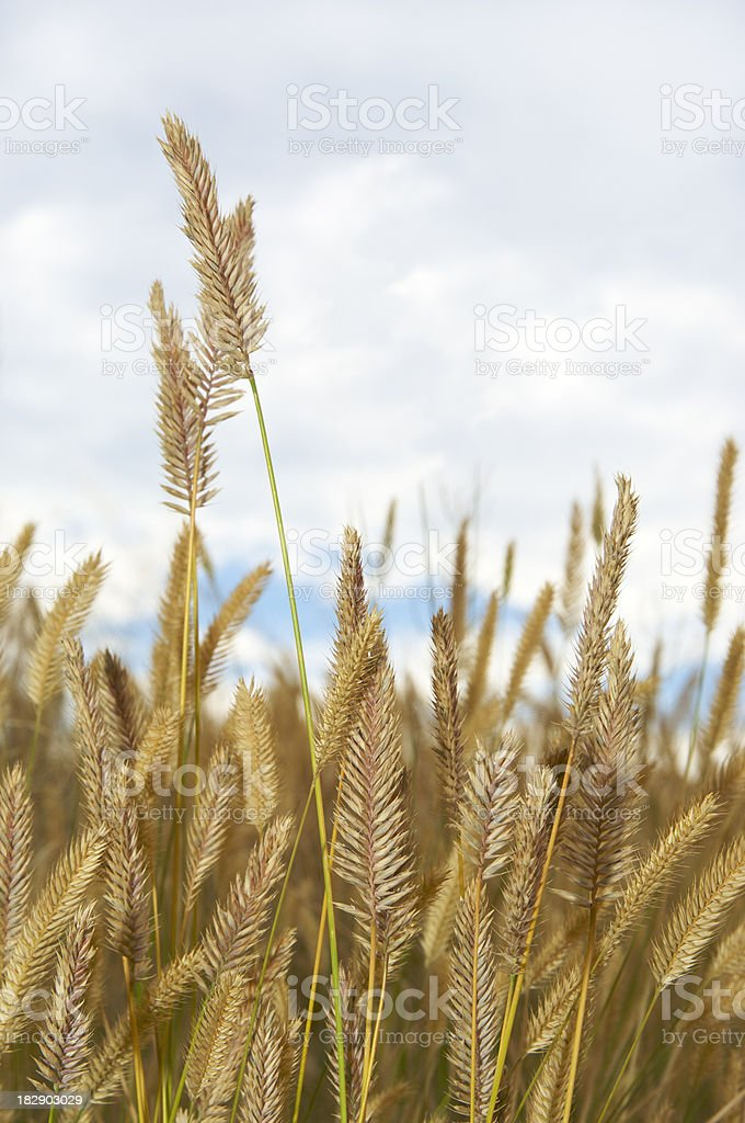 Prairie Grass stock photo