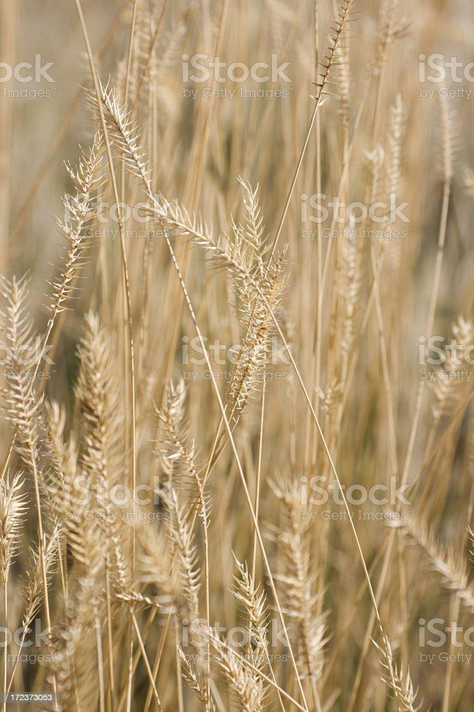 Prairie Grass Vt royalty-free stock photo
