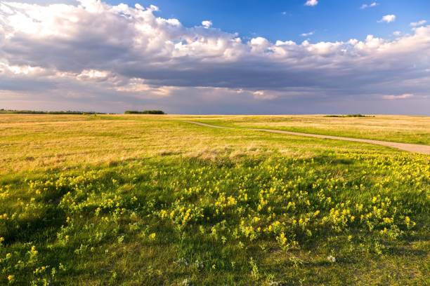Prairie Grassland Landscape and Yellow Springtime Wildflowers Blooming on Nose Hill Natural Park in Calgary Alberta stock photo