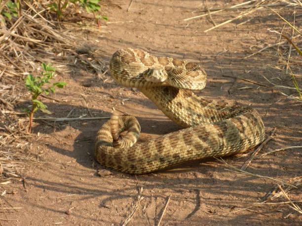 Prairie rattlesnake coiled on Red Rocks path Morrison Colorado Rocky Mountains stock photo