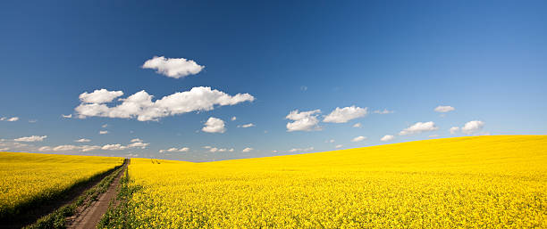 Prairie Road A canola or rapeseed field on the prairie with dirt road. Panorama. canola stock pictures, royalty-free photos & images