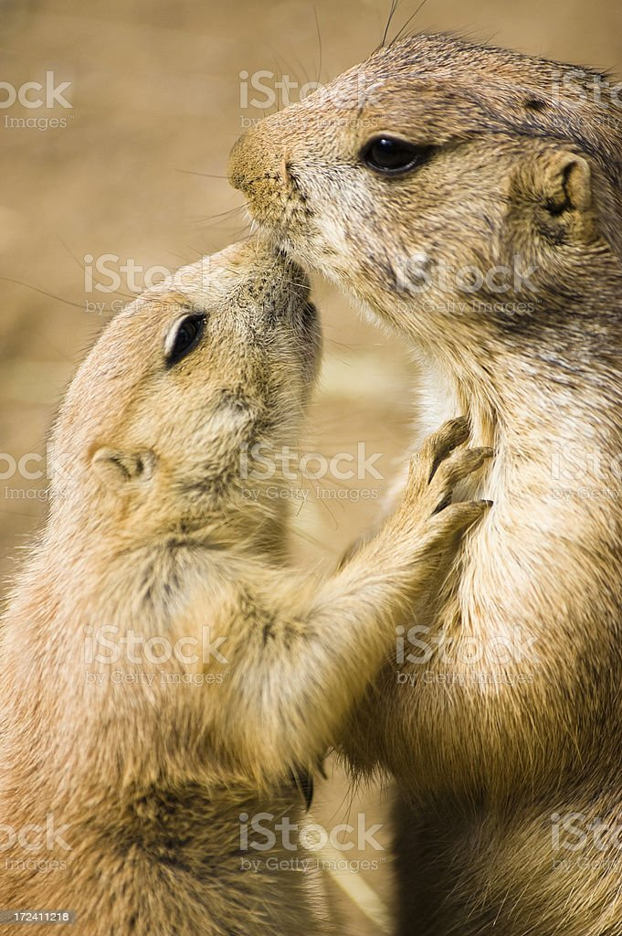 prairie-dogs royalty-free stock photo