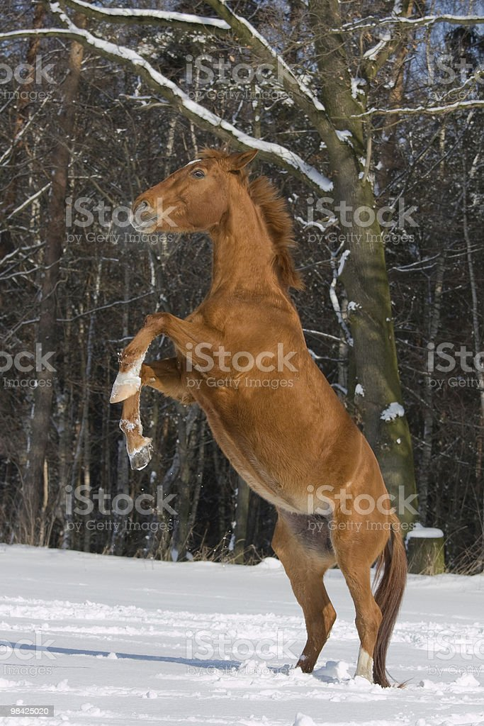 Prancing horse in snowy landscape royalty-free stock photo