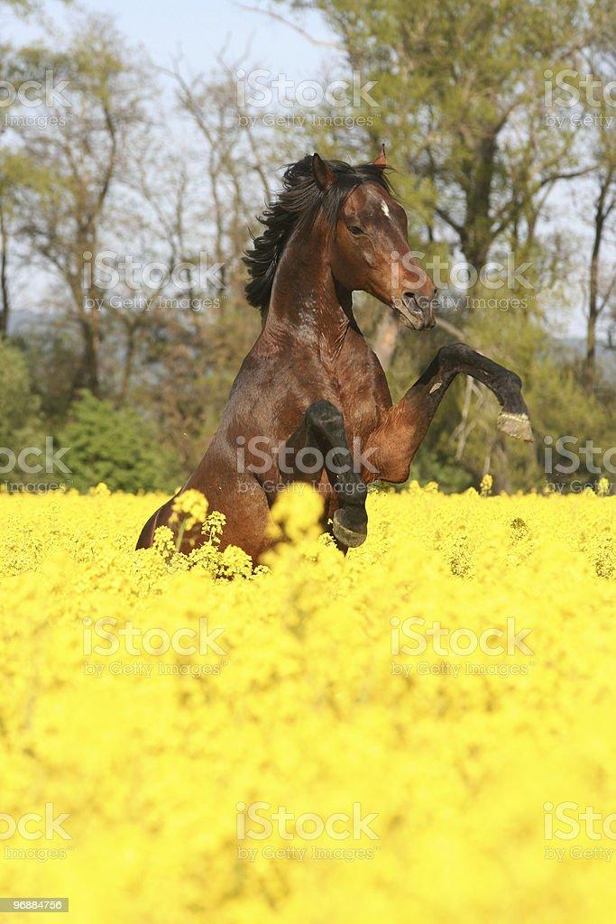 Prancing Pferd im Feld colza Lizenzfreies stock-foto