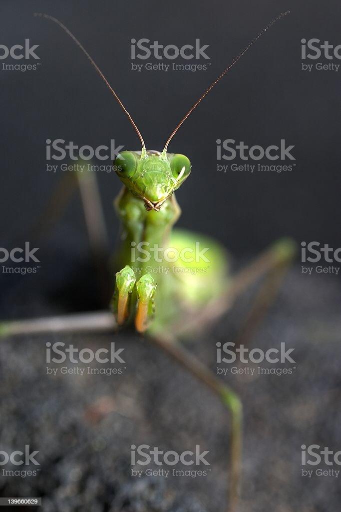 prayer mantis royalty-free stock photo
