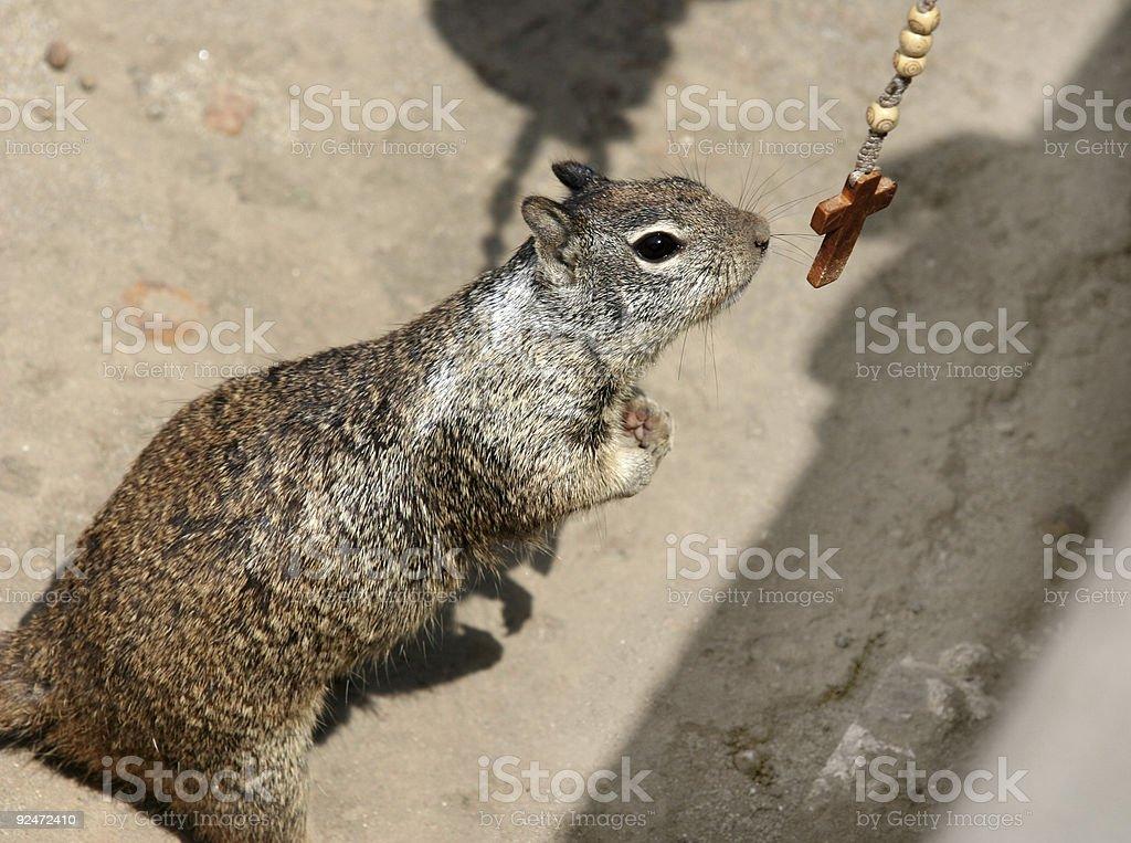 Praying ground squirrel royalty-free stock photo