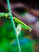 praying mantis is watching its prey from the grass