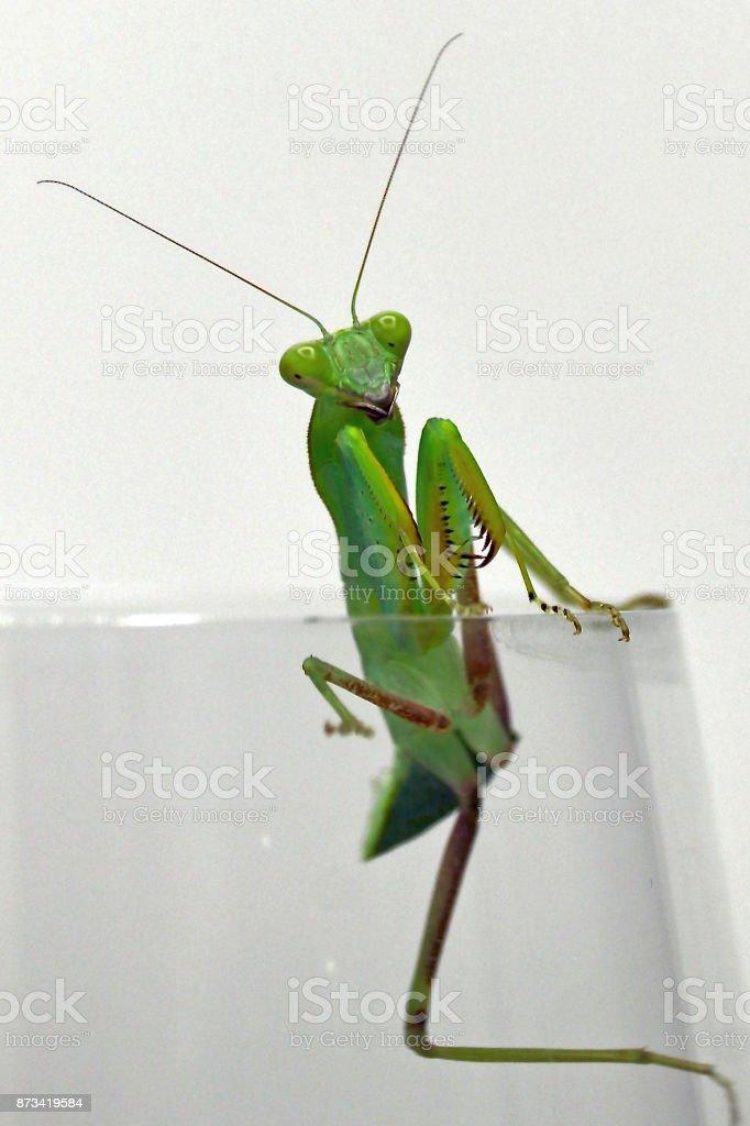 Praying Mantis 1 stock photo