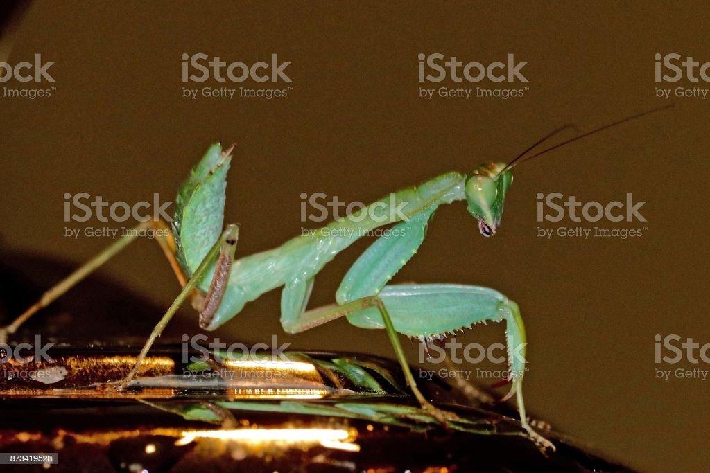 Praying Mantis 3 stock photo