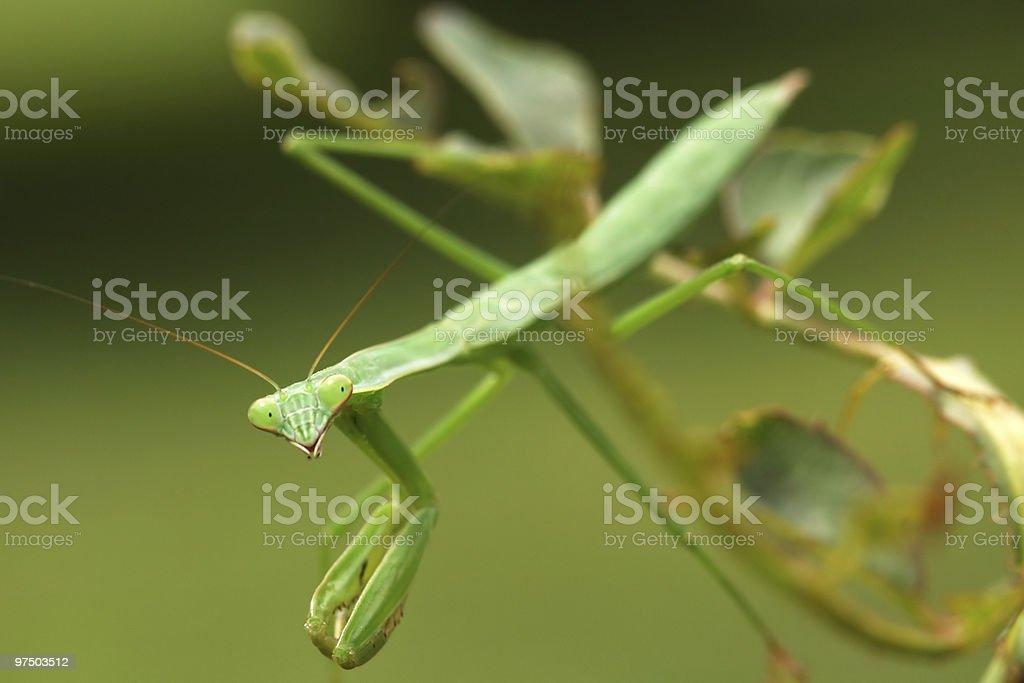 Praying Mantis 4 royalty-free stock photo