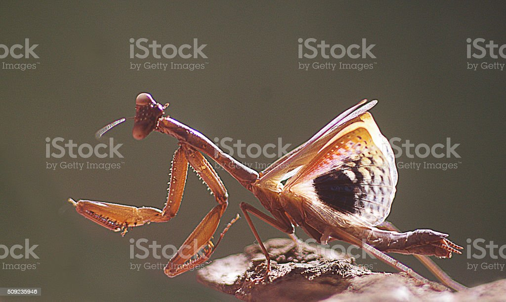 Praying Mantis Afreaid And Shows His Wings Stock Photo Download