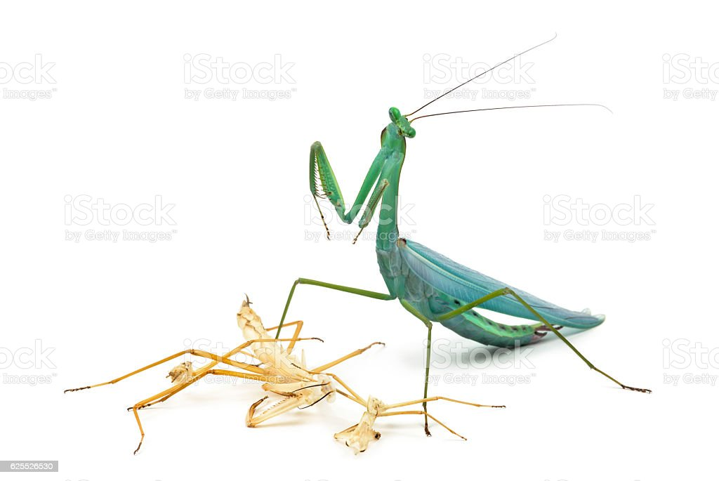 Praying Mantis And Its Ecdysis Moulting Stock Photo & More Pictures ...