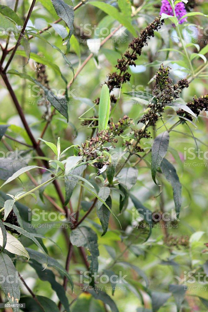 Praying Mantis camouflaged and eating Cicada stock photo
