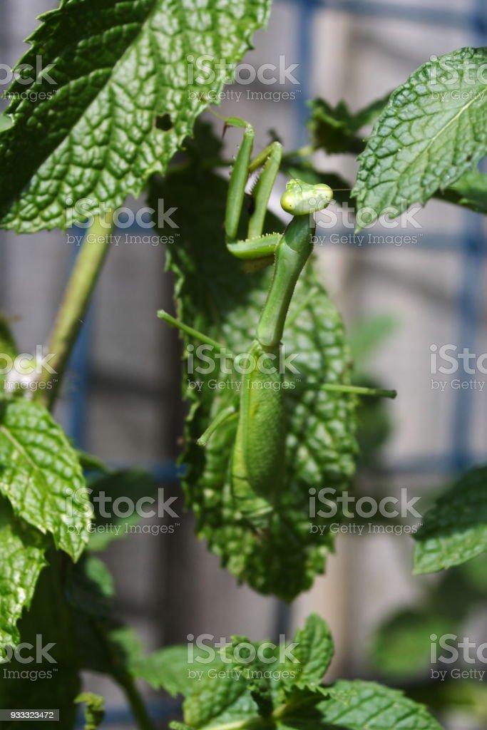 Praying Mantis climbing stock photo