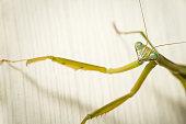 Macro shot of praying mantis on a blurred background