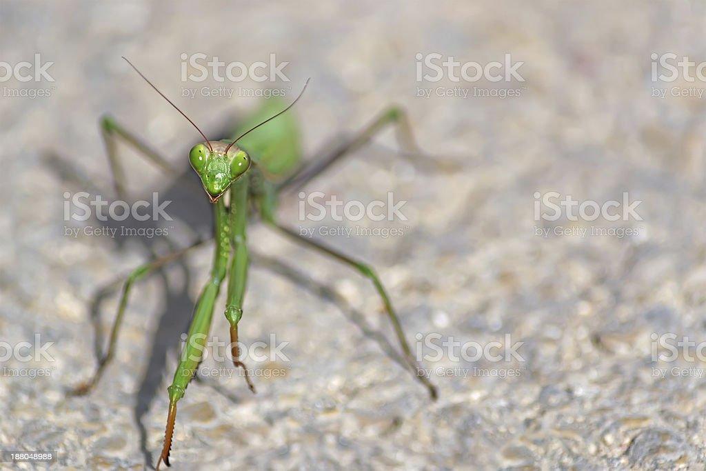praying mantis face royalty-free stock photo