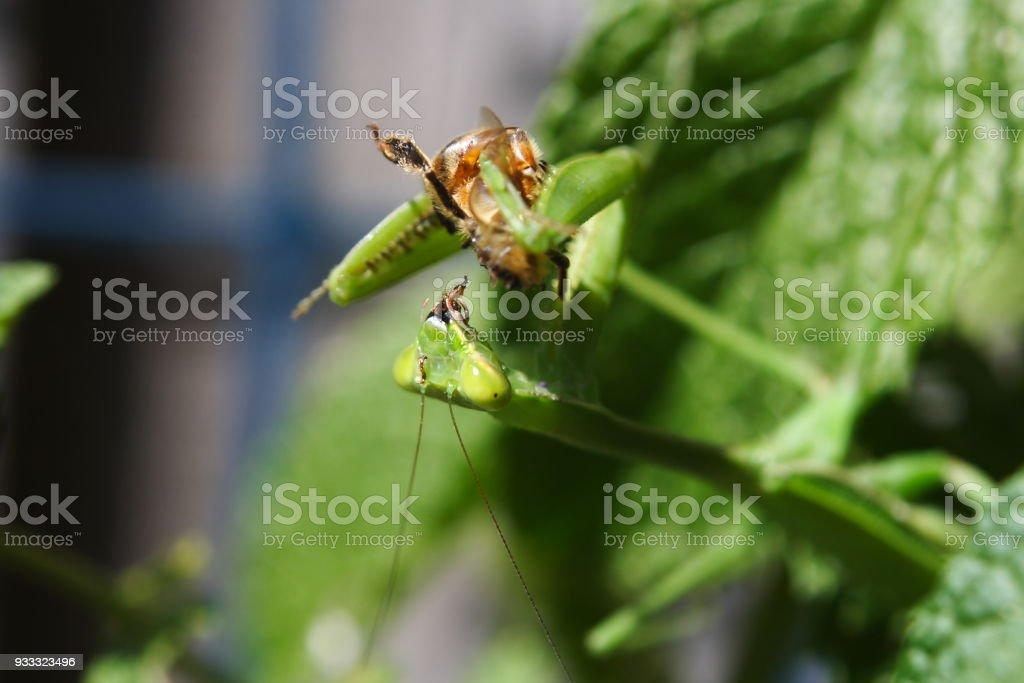 Praying Mantis feeding stock photo
